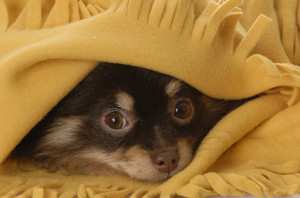 Pomeranian Hiding Under Yellow Blanket