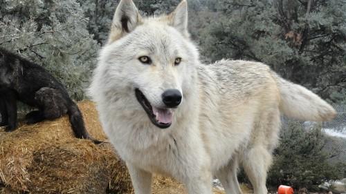 wolfdogs-khurki.net