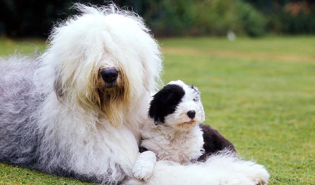 Sheepdog-khurki.net