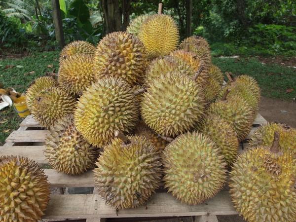 Durian-Khurki.net