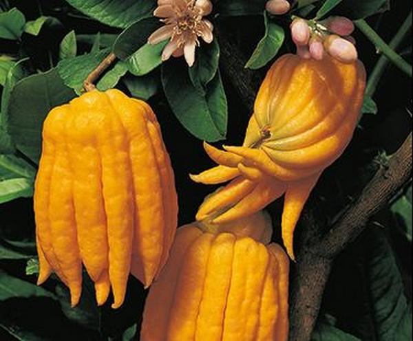 Fingered Citron-Khurki.net